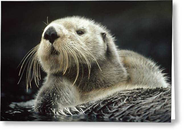 Sea Otter Enhydra Lutris Floating Greeting Card by Tim Fitzharris