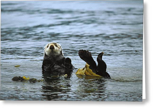 Ocean Mammals Greeting Cards - Sea Otter Enhydra Lutris Wrapped Greeting Card by Konrad Wothe