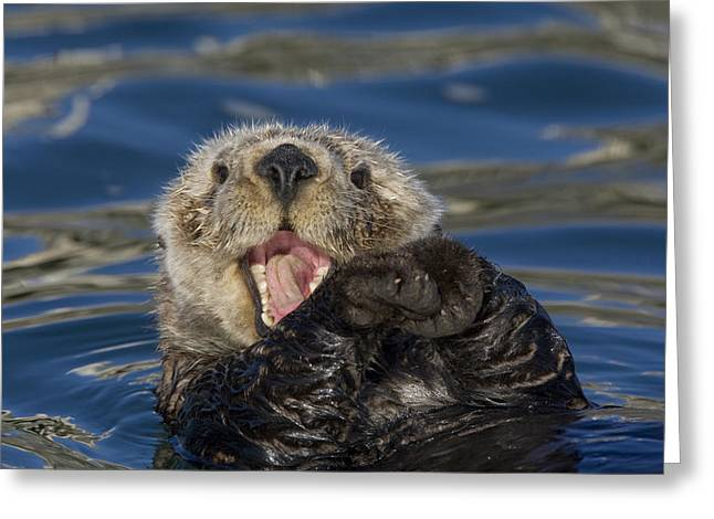 Monterey Bay Image Greeting Cards - Sea Otter Enhydra Lutris Yawning Greeting Card by Suzi Eszterhas