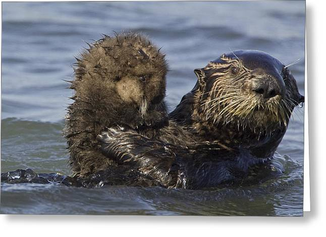 Monterey Bay Image Greeting Cards - Sea Otter Mother Holding Pup Monterey Greeting Card by Suzi Eszterhas