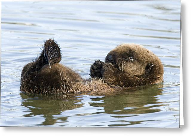 Monterey Bay Image Greeting Cards - Sea Otter Pup Elkhorn Slough Monterey Greeting Card by Sebastian Kennerknecht