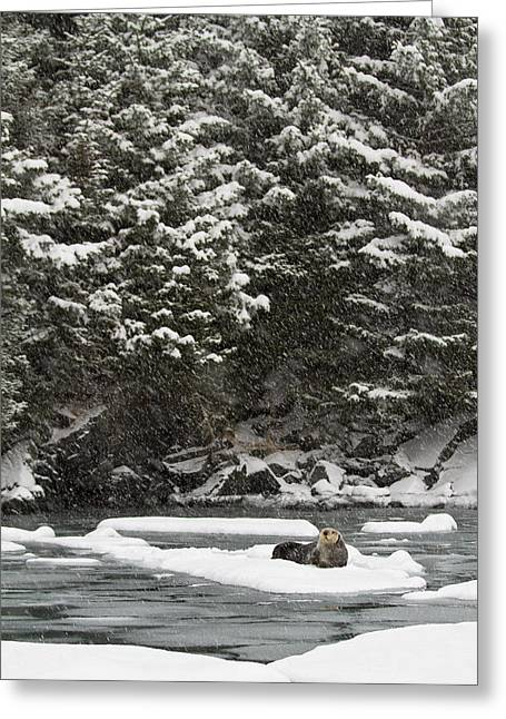 Kodiak Greeting Cards - Sea Otter Resting on Ice Greeting Card by Tim Grams