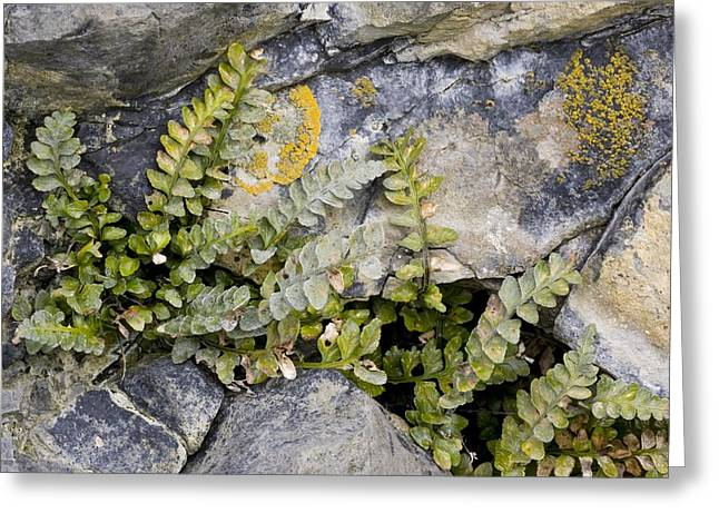 Green Foliage Greeting Cards - Sea Spleenwort (asplenium Marinum) Greeting Card by Bob Gibbons