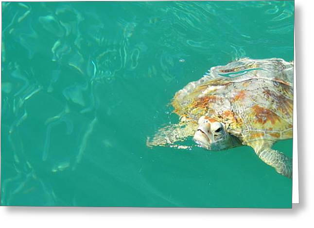Monkey Mia Greeting Cards - Sea Turtle Greeting Card by Angela White