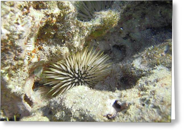 Invertebrates Greeting Cards - Sea Urchin Greeting Card by Michael Peychich