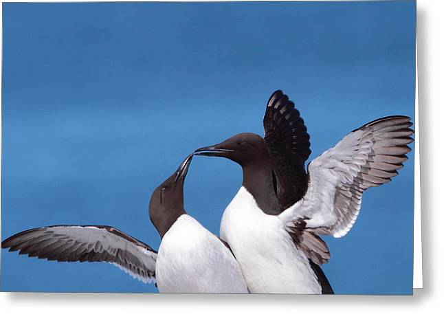 Machias Seal Island Greeting Cards - Seabird Love Greeting Card by Bruce J Robinson
