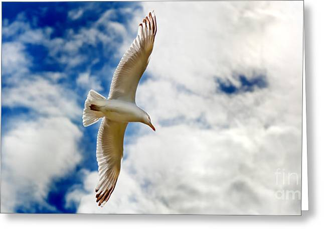 Seagul Greeting Cards - Seagul gliding in flight Greeting Card by Simon Bratt Photography LRPS
