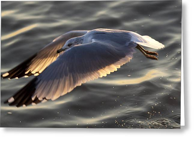 Seagull Flying Greeting Cards - Seagull Flight Greeting Card by Dustin K Ryan