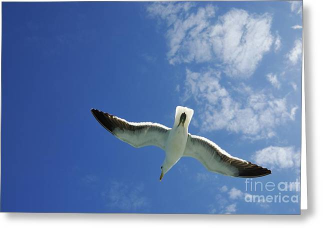 Flying Animal Greeting Cards - Seagull flying in the sky on blue sky Greeting Card by Sami Sarkis