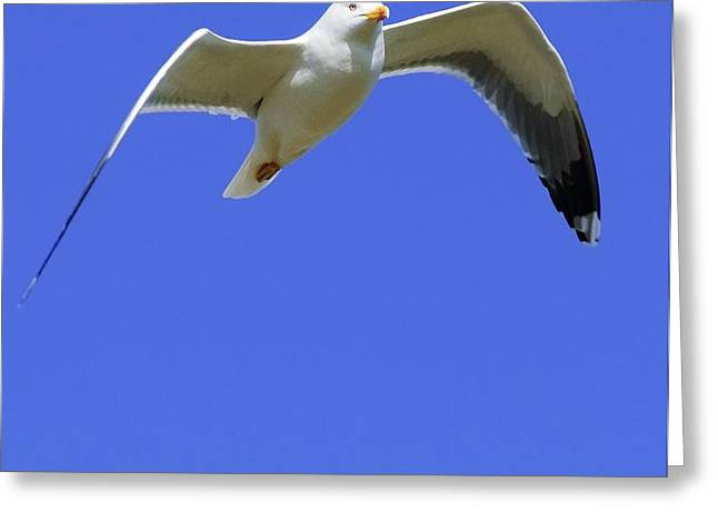 Seagull In Flight Greeting Card by Ben Welsh