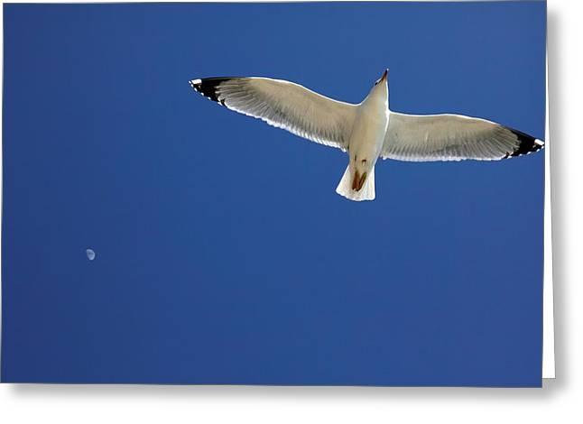 Seagull In Flight Greeting Card by Detlev Van Ravenswaay