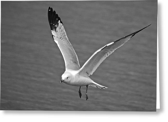 Seabirds Greeting Cards - Seagull in Flight Greeting Card by Michael Peychich