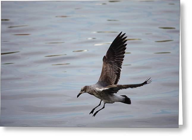 Flying Seagull Greeting Cards - Seagull Landing Greeting Card by Carol Groenen