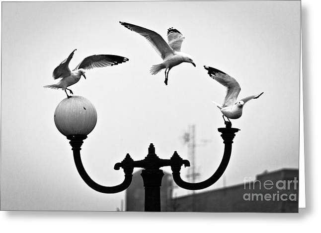 Canal Park Greeting Cards - Seagull Landing Pattern Greeting Card by Shutter Happens Photography