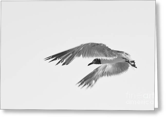 Flying Animal Greeting Cards - Seagull Greeting Card by Miguel Celis