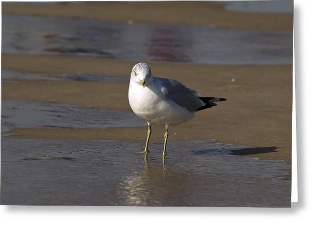 Tara Lynn Greeting Cards - Seagull Standing Greeting Card by Tara Lynn