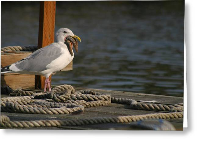 Seagull With Starfish Greeting Cards - Seagull Swallows Starfish Greeting Card by Kym Backland