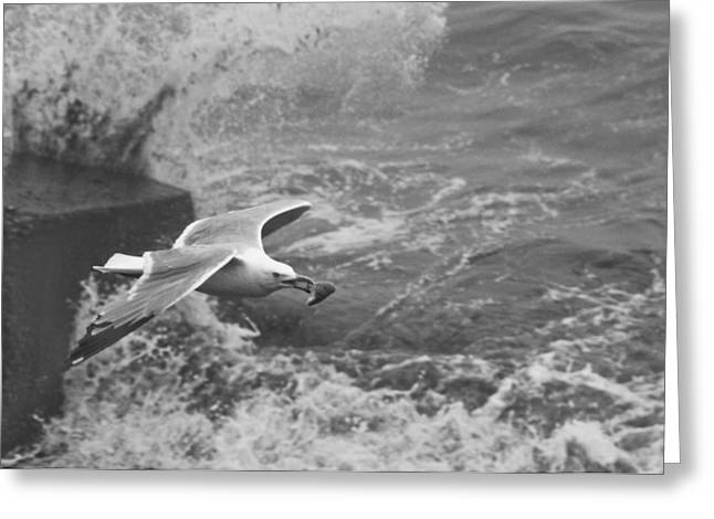 Flying Seagull Pyrography Greeting Cards - Seagull with Bread Greeting Card by Steven Natanson