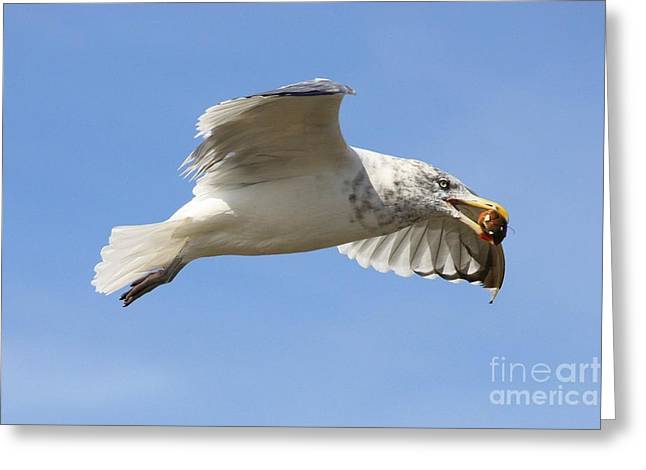 Hunting Bird Greeting Cards - Seagull with Snail Greeting Card by Carol Groenen
