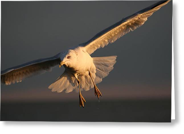 Sea Birds Pyrography Greeting Cards - Seagulls In Flight At Sunset Greeting Card by Valia Bradshaw