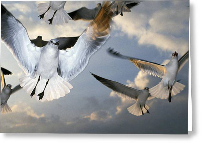 Seagulls In Flight Greeting Card by Natural Selection Ralph Curtin