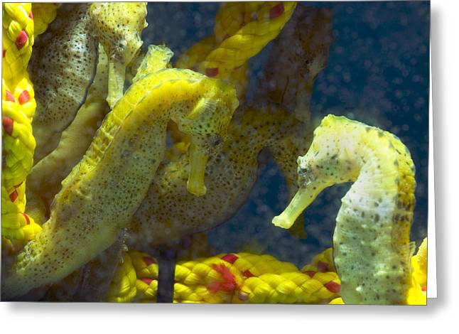 Two Seahorses Greeting Cards - Seahorses Greeting Card by Louise Murray