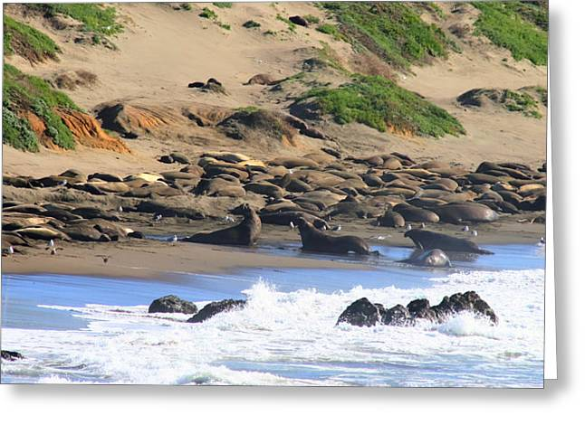 Elephant Seals Greeting Cards - Seal Beach - San Simeon California Greeting Card by Tap On Photo