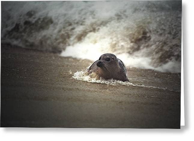 California Sea Lions Greeting Cards - Seal in the surf at LaJolla Beach No.004 Greeting Card by Randall Nyhof