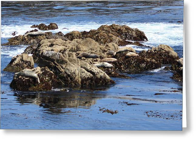 Recently Sold -  - California Sea Lions Greeting Cards - Seal Island Greeting Card by Carol Groenen