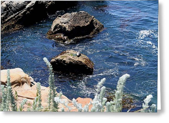 Pfeiffer Beach Greeting Cards - Seal Pup Basking Greeting Card by PJQandFriends Photography