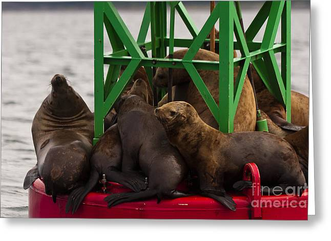 Recently Sold -  - California Sea Lions Greeting Cards - Seals Warming Up Greeting Card by Darcy Michaelchuk