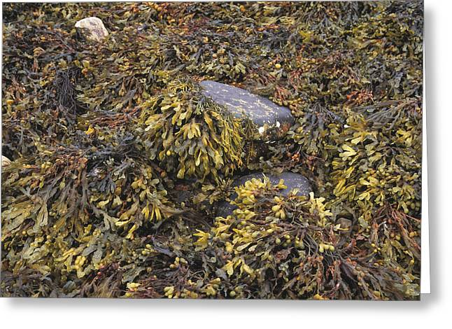 Algal Greeting Cards - Seaweed Greeting Card by Michael Marten