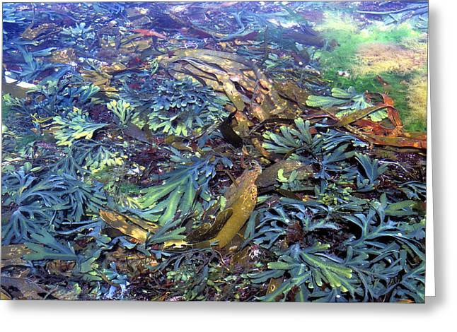 Algal Greeting Cards - Seaweeds Greeting Card by Dr Keith Wheeler
