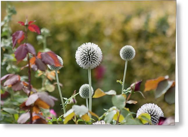 Seedhead Greeting Cards - Seed Heads Greeting Card by Dawn OConnor