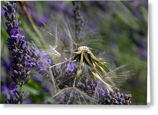 Hitchin Greeting Cards - Seeds among lavender Greeting Card by Rosie Herbert