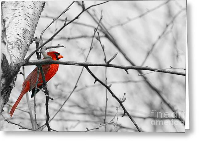 Alan Look Greeting Cards - Selective Color Cardinal in Birch  Greeting Card by Alan Look