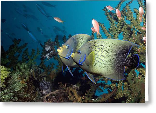 Reef Fish Greeting Cards - Semicircle Angelfish Greeting Card by Georgette Douwma