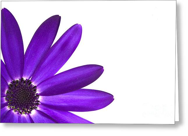 Cinerarea Greeting Cards - Senetti Deep Blue Greeting Card by Richard Thomas