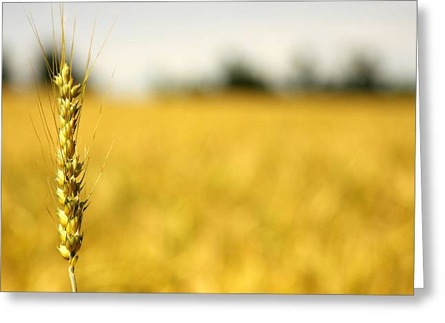 Wheat Field Greeting Cards - Sentinel Greeting Card by Rebecca Cozart