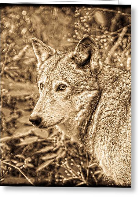 Award Winning Art Greeting Cards - Sephia Wolf Greeting Card by Steve McKinzie