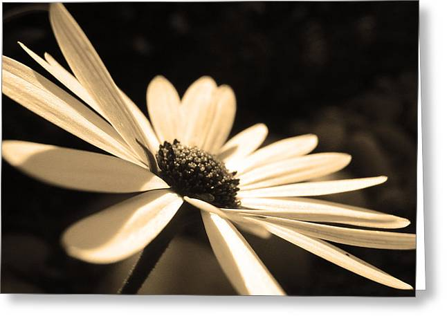 Blossoming Greeting Cards - Sepia Daisy Flower Greeting Card by Sumit Mehndiratta