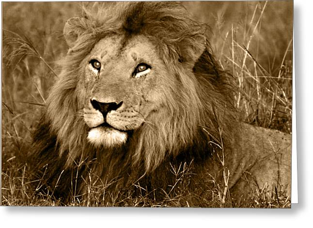 Sepia Lion Greeting Card by Nancy D Hall
