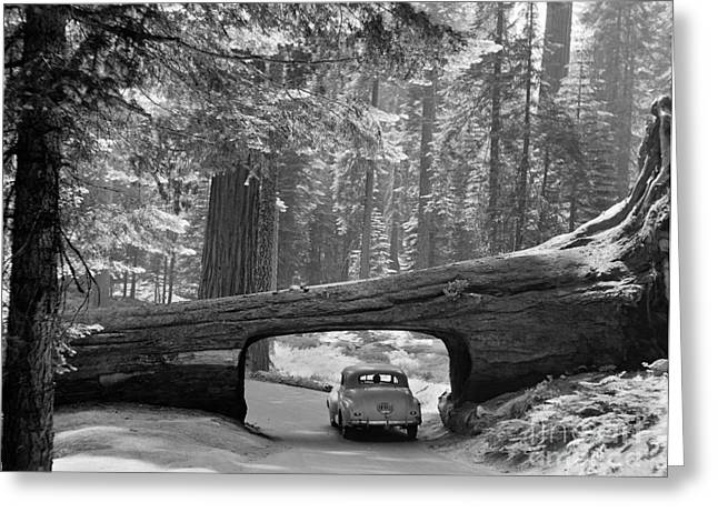 American Automobiles Photographs Greeting Cards - Sequoia National Park Greeting Card by Granger