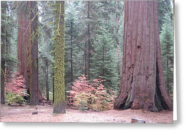 Pine Tree Photographs Greeting Cards - Sequoia  Trees  Greeting Card by Naxart Studio