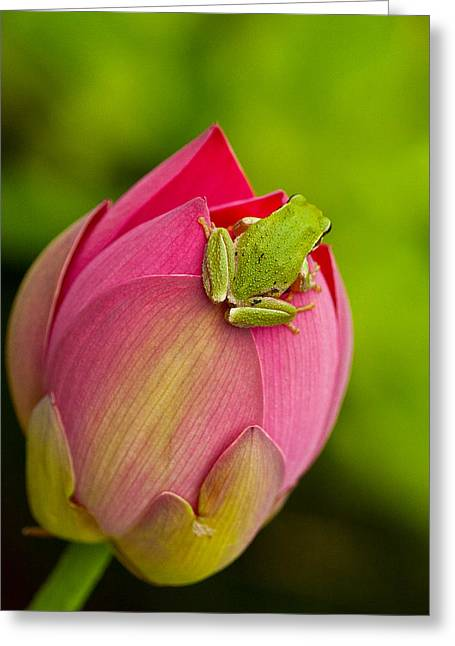 Tree Frog Greeting Cards - Serene Greeting Card by Jean Noren