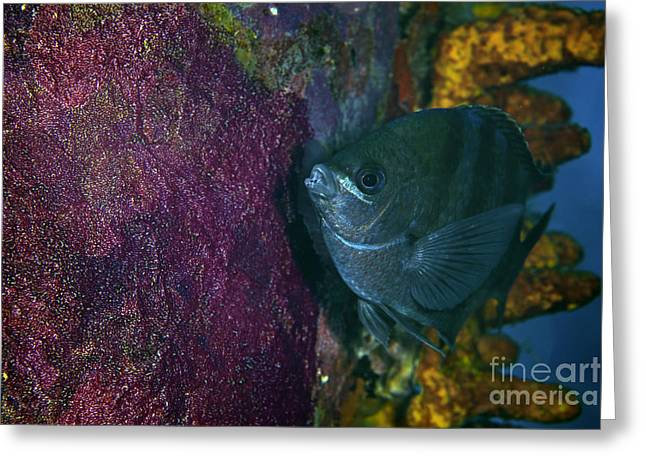 Protected Sea Life Greeting Cards - Sergeant Major Watches Over Its Eggs Greeting Card by Terry Moore