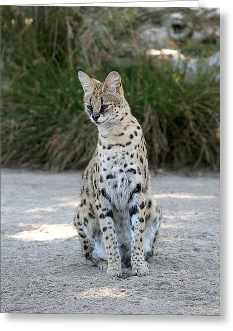 Pause Greeting Cards - Serval Cat Greeting Card by Ian Mcadie