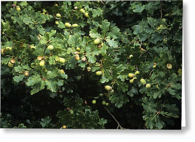 Quercus Greeting Cards - Sessile Oak Acorns (quercus Petraea) Greeting Card by Adrian Thomas
