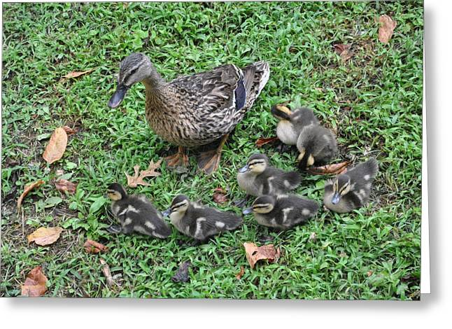Baby Mallards Greeting Cards - Seven Little Ducklings Greeting Card by Jan Amiss Photography