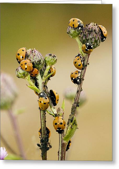 Eating Entomology Greeting Cards - Seven-spot Ladybirds Eating Aphids Greeting Card by Bob Gibbons